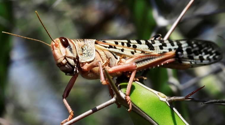 locustsreachuttarpradesh