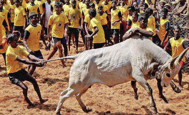 Centre allows Jallikattu in Tamil Nadu