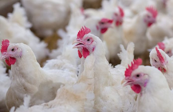 No record of Coronavirus in broiler chicken: Govt