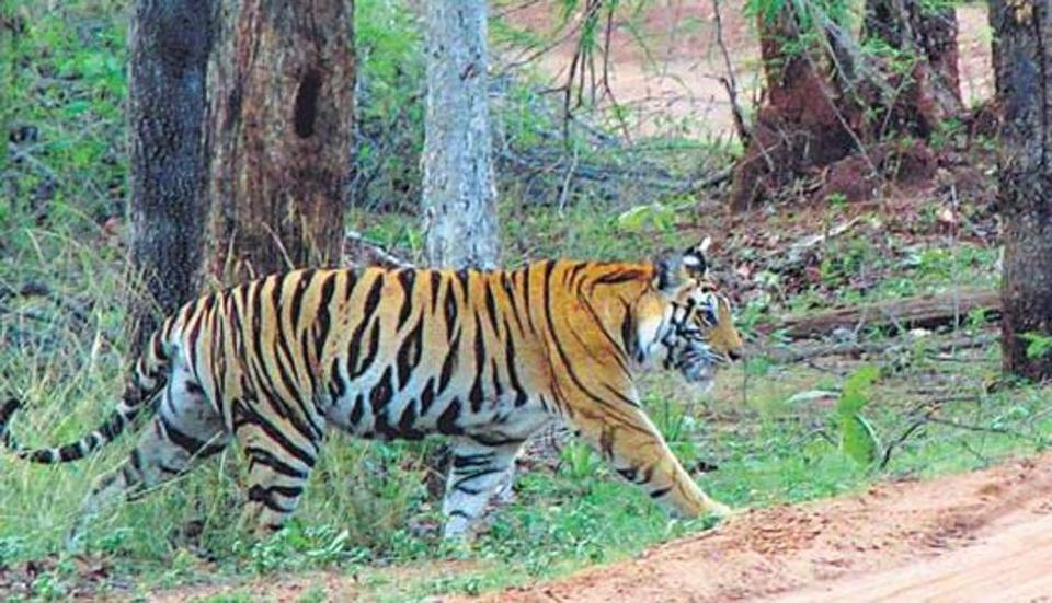 Tiger kills man in Corbett reserve