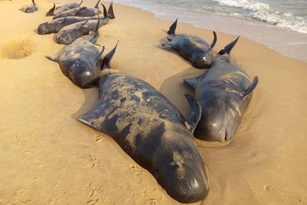 whales returning to the shores that had washed up on a beach