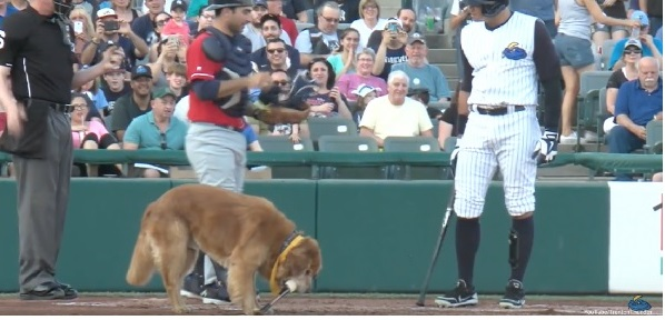 Dog steals the bat and interrupts the baseball game [VIRAL VIDEO]