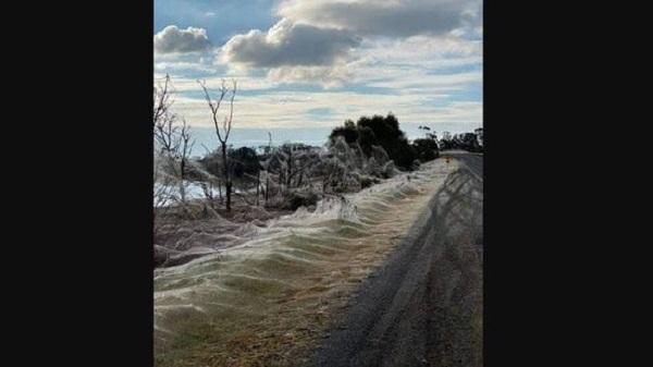 Spiders cover bushland in Australia's Victoria in webs.